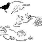 Les chaînes alimentaire – cycle 3
